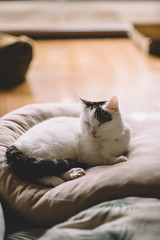 2017.10.5: lou (Nazra Z.) Tags: cushion sleeping natural light vscofilm cat munchkin male tabby home okayama japan raw 2017