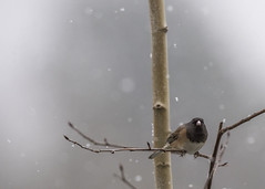 Snow day (Jan.Timmons) Tags: darkeyedjunco bird snow nikon500mmlens jantimmons pacificnorthwest juncohyemalis lovesnow