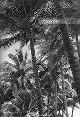 Coconut picking - Hái dừa - Nha Trang - 1962 (Nguyen Ba Khiem) Tags: 1960s 1962 hìnhảnhxưa việtnam việtnamxưa nhatrang nhatrangxưa nguyễnbámậu phongcảnh quê trẻem dừa