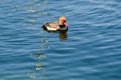 moderne Ente (Nachett) Tags: chiemsee herreninsel lago see lake bayern bavaria baviera alemania deutschland germany pato duck ente agua water wasser composición composition komposition