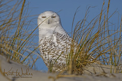 Snowy Owl (ThruKurtsLens.com (off and on)) Tags: 2017 fall kurtwecker nature naturephotographer thrukurtslenscom wildlife wildlifephotographer
