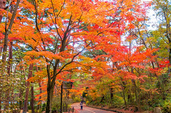 Leafer (moaan) Tags: kobe hyogo japan jp trees mapletrees maple mapleleaves japanesemaple autumn autumncolors autumnleaves autumnaltints fall fallcolors fallfoliage underthebigmomojitrees leafer nature naturephotography leica leicaphotography leiax2 utata 2017 oneperson