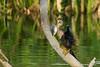 IMG_0613 (SFracphoto) Tags: infocus highquality fishing anhinga