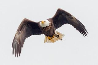 High Key Eagle Image