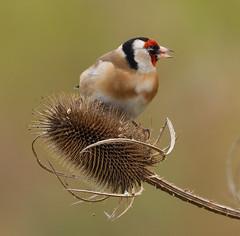 goldfinch (Tim Gardner pics) Tags: