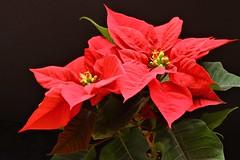 Pointsettia (qorp38) Tags: red flowers pointsettia christmas