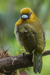 Prong-billed Barbet (fernaabs) Tags: prongbilled barbet avesdecostarica aves piciformes semnornithidae burgalin cocora barbudococora semnornis frantzii