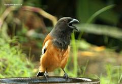 IMG_6364 Rufous Treepie (Dendrocitta vagabunda) (vlupadya) Tags: greatnature animal aves fauna indianbirds rufous treepie dendrocitta kundapura karnataka