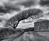 Shaped by the wind (Tim Ravenscroft) Tags: tree landscape road monochrome blackandwhite blackwhite cornwall stovebarton hasselblad hasselbladx1d x1d clouds stormy