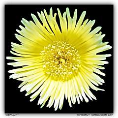 Iceplant. (kimlno) Tags: nature flora succulent iceplant kimlno