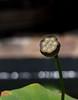 Lotus pod (chrys goote) Tags: beanofindia egyptianbean indianlotus lotus lotuspod nelumbonucifera nelumbonaceae sacredlotus stellenboschuniversitybotanicalgarden