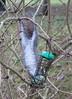 Eastern Gray Squirrel; 20171213; UK-Essex-Birdbrook (plantpollinator) Tags: sciuruscarolinensis sciurus rodentia sciuridae