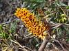 Grevillea robusta flowers (J. B. Friday) Tags: grevillea grevillearobusta proteaceae puuwaawaa