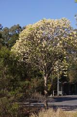 Flindersia australis (Tatters ✾) Tags: australia floweringtree streettree habit flindersia rutaceae flindersiaaustralis qrfp crowash australianteak arfp nswrfp dryarf subtropicalarf vinethicketarf arfflowers whitearfflowers