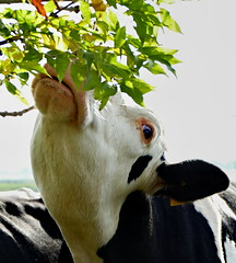 Mal probieren - Give it a try (antje whv) Tags: kuh cow tier animal baum tree kühe cows
