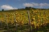 Herbst / Autumn, Markgräflerland (herbert@plagge) Tags: landschaft natur weinberg markgräflerland schliengen herbst deutschland germany autumncolours vineyards markgraeflerland nature landscape