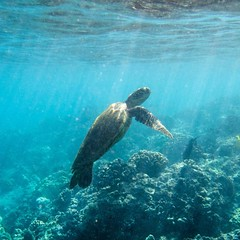 Photo (Zoomdak) Tags: seaturtles kihei snorklife roadtohana turtlepower tortoise animalplanet diving reptiles wailea mauinokaoi reptile turtle turtlesofinstagram seaturtle mauilife hawaiian babyturtle turtles zoomdak kaanapali maui nature