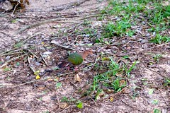 LHID 208 (newnumenor) Tags: australia lordhoweisland nsw wildlife