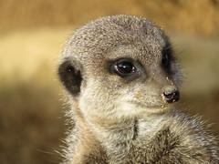 """Meerkat"" (seanwalsh4) Tags: meerkat nature cute nice seanwalsh bristol noahsark 7dwf sundaysfauna suricatasuricatta africanfauna"