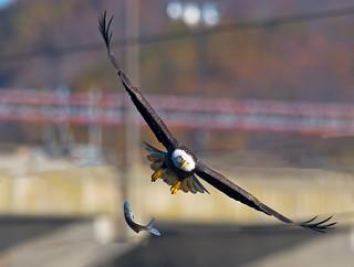 Bald Eagle Fish Drop