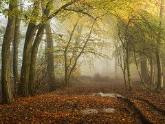 Almost Gold (Damian_Ward) Tags: ©damianward damianward beech trees chilterns chilternhills thechilterns fog mist oxfordshire wood forest woodland autumn autumnal fall