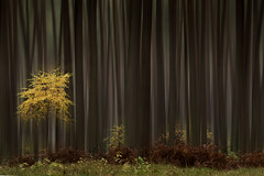 yellow tree (renatecamin) Tags: art trees herbst forest wald autumn abstract