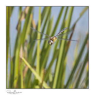 Dragonfly hawking in the reeds