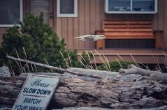 Snowy Wake Zone (marcusklotz2014) Tags: buboscandiacus snowyowl birdsofprey nikon800mmf56