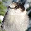 DSC00820c (Aubrey Sun) Tags: mt washington hike wa mountain bird gray jay camp robber