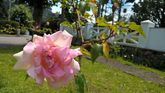 Bela flor (medeirosisabel16) Tags: grass flower rosa garden tree campos do jordão nature natureza pink green verde spring primavera cell phone celular beauty