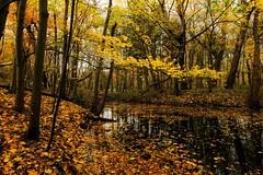 Autumn colours (peeteninge) Tags: autumn nature trees autumncolours leaves herfst herfstkleuren natuur bomen bladeren fujifilmxt2 fujifilm