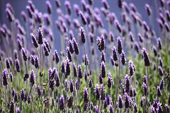 Púrpura (luenreta) Tags: lavanda flora 7dwf nature púrpura