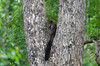 Indian giant squirrel, or Malabar giant squirrel, (Ratufa indica)   - Nagarhole National Park-7502303 (@nikondxfx (instagram)) Tags: 2017 d750 india karnataka kerala nikon october photography tamilnadu travel fun southindia travelphotography trip indiangiantsquirrel malabargiantsquirrel ratufaindica