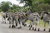Zebra's (Dick Verton ( more than 12.000.000 visitors )) Tags: wildlife southafrica streetshot krugerpark zebras