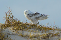 """A Few Ruffled Feathers"" (Photography by Sharon Farrell) Tags: ibsp islandbeachstatepark islandbeachstateparknewjersey ibspnj barrierisland islandbeach northamericasnowyowl atlanticcoastline atlanticseaboard islandbeachnorthernnaturalarea newjersey jersey jerseyshore jerseyshorewildlife newjerseywildlife newjerseybirds irruption snowyowlirruption snowyowl femalesnowyowl buboscandiacus arcticbirds tightcrop"