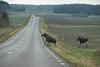 Watch out (Yvonne L Sweden) Tags: november road crossing field sweden roadtrip elk moose traffic älg