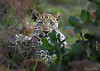 Young leopard male (Sumarie Slabber) Tags: leopard male bigcat big5 wild wildlife sumarieslabber nature safari beautiful spots cat grass