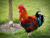 Proud (Sossywoss) Tags: ifttt 500px feather hen livestock rooster cockerel crest male animal pecking