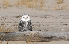 2nd Snowy Owl, Nauset 12/3/17 (petertrull) Tags: elements