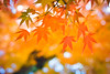 Autumn season colorful of tree and leaves (auimeesri) Tags: abstract autumn background beautiful beauty blue branch bright color colorful fall foliage forest garden gold green japan japanese kyoto landscape leaf leaves light maple natural nature orange outdoor park plant red scene season seasonal sky sunlight texture travel tree trees yellow