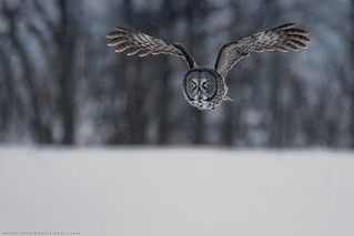 Great Gray Owl / Chouette Lapone