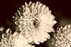 Chrysanthemums (Sarah_ES) Tags: 7dwf thursday sepia chrysanthemum flower many