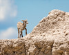 Bighorn Sheep Calf ((JAndersen)) Tags: badlandsnationalpark badlands bighornsheep calf nikon nature wildlife animal southdakota usa d7200 nikkor20005000mmf56