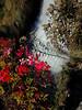 Cascata con fiori rossi ( particolare) (amos.locati) Tags: amos locati acqua fiori rossi red flowers water waterfall cascata stenico trentino italia