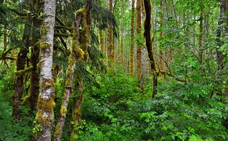 Rainforest in the North Cascades Mountains and National Park (North Cascade National Park Complex)