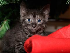 Kittens (Thunder1203) Tags: canon christmas christmastree feline hohoho merrychristmas santa claws decorating family kittens