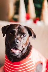 (Rebecca812) Tags: dog pet animal cute pajamas striped red christmas labradorretriever pitbull mutt rescueanimal handsome watson portrait smile