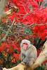 20171120嵐山猴子公園 (康踢牛) Tags: 日本 嵐山 猴子公園 猴子 楓樹 楓葉 japan monkey maple