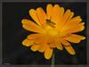 marigold (Heinze Detlef) Tags: ringelblume marigold blume pflanze heilpflanze gärten zierde blätter blüte schwebfliegetier insekt pollen makro macro outdoor