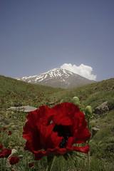 Damavand, Iran ($ALEH) Tags: iran mountain damavand nature flower botany دماوند ایران طبیعت کوهستان شقایق poppy